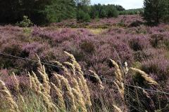 Heidevelden in de omgeving